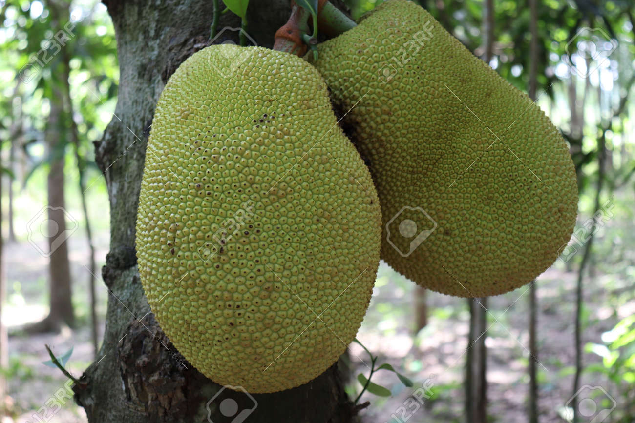tasty and healthy raw jackfruit stock on tree in the farm for harvest - 170697056