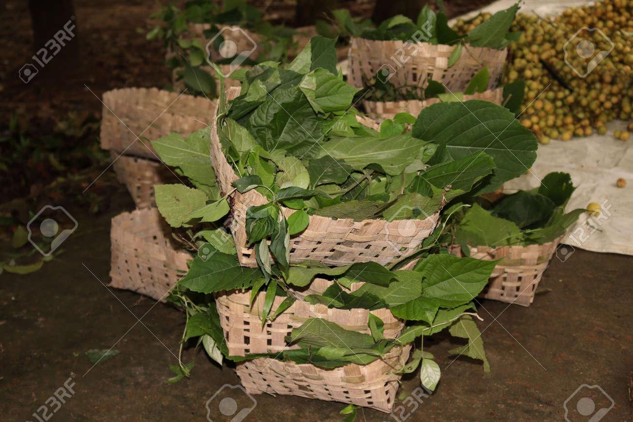 tasty baccaurea motleyana stock on basket in the farm for harvest - 170752293