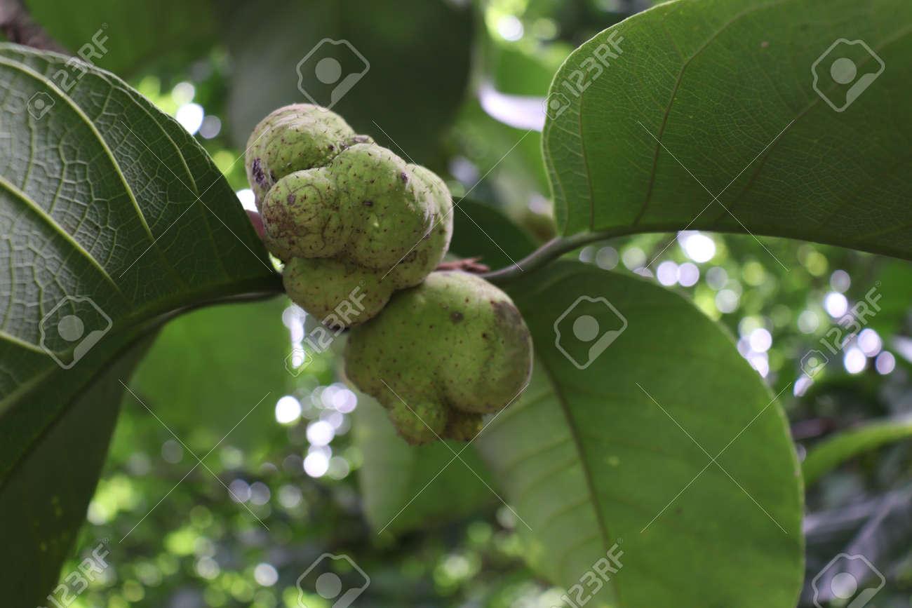green colored fresh Artocarpus lacucha stock on tree in the farm for harvest - 170696246