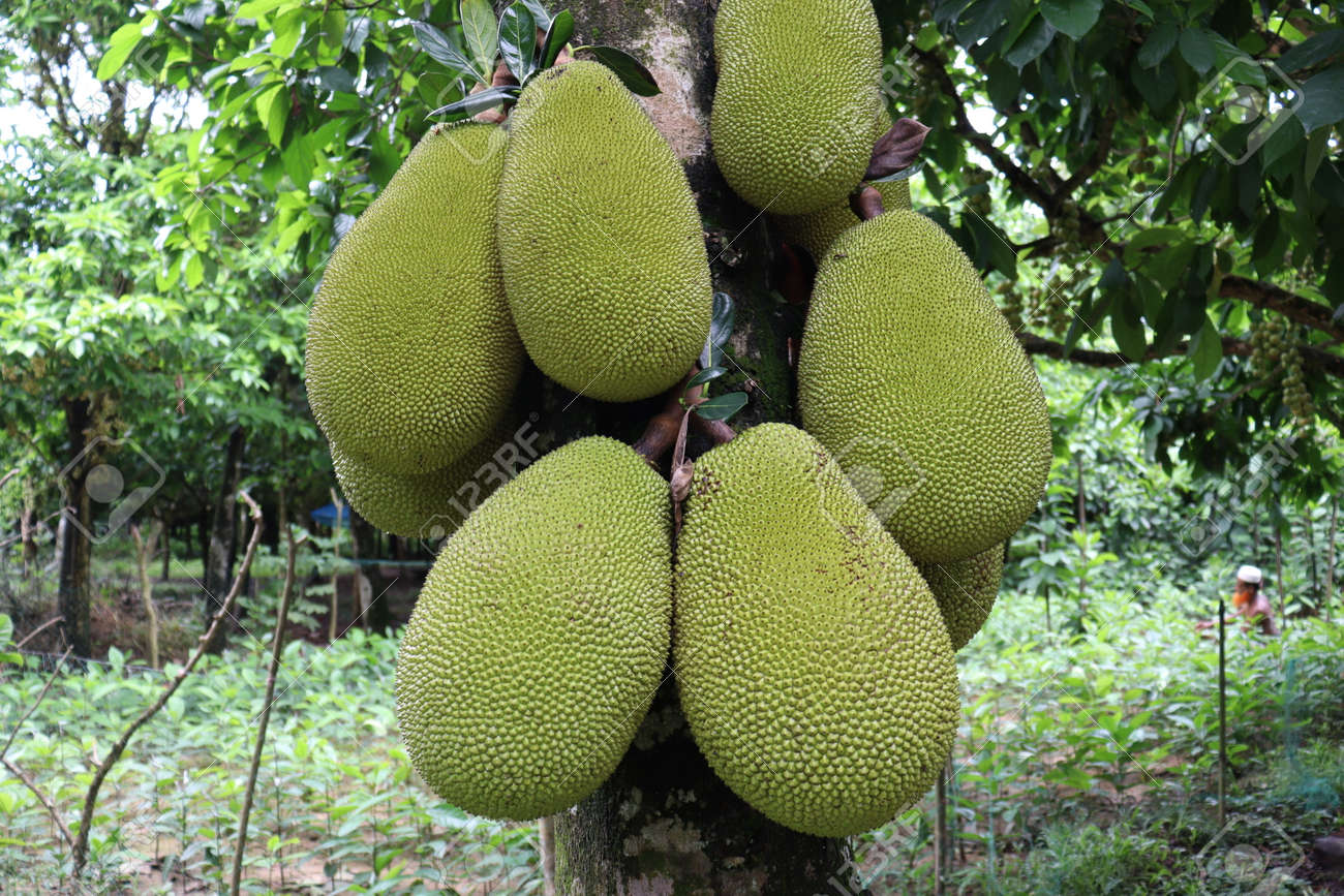 tasty and healthy raw jackfruit stock on tree in the farm for harvest - 170697384