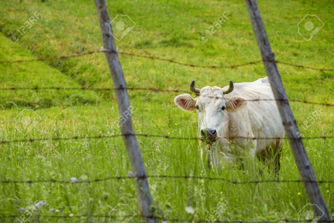 barbed wire fence cattle. Pleading Cow On The Green Meadow Behind Barbed Wire Fence Stock Photo - 65458726 Cattle L