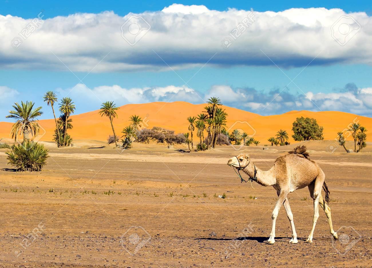 Camel in the Sahara desert - 97419670