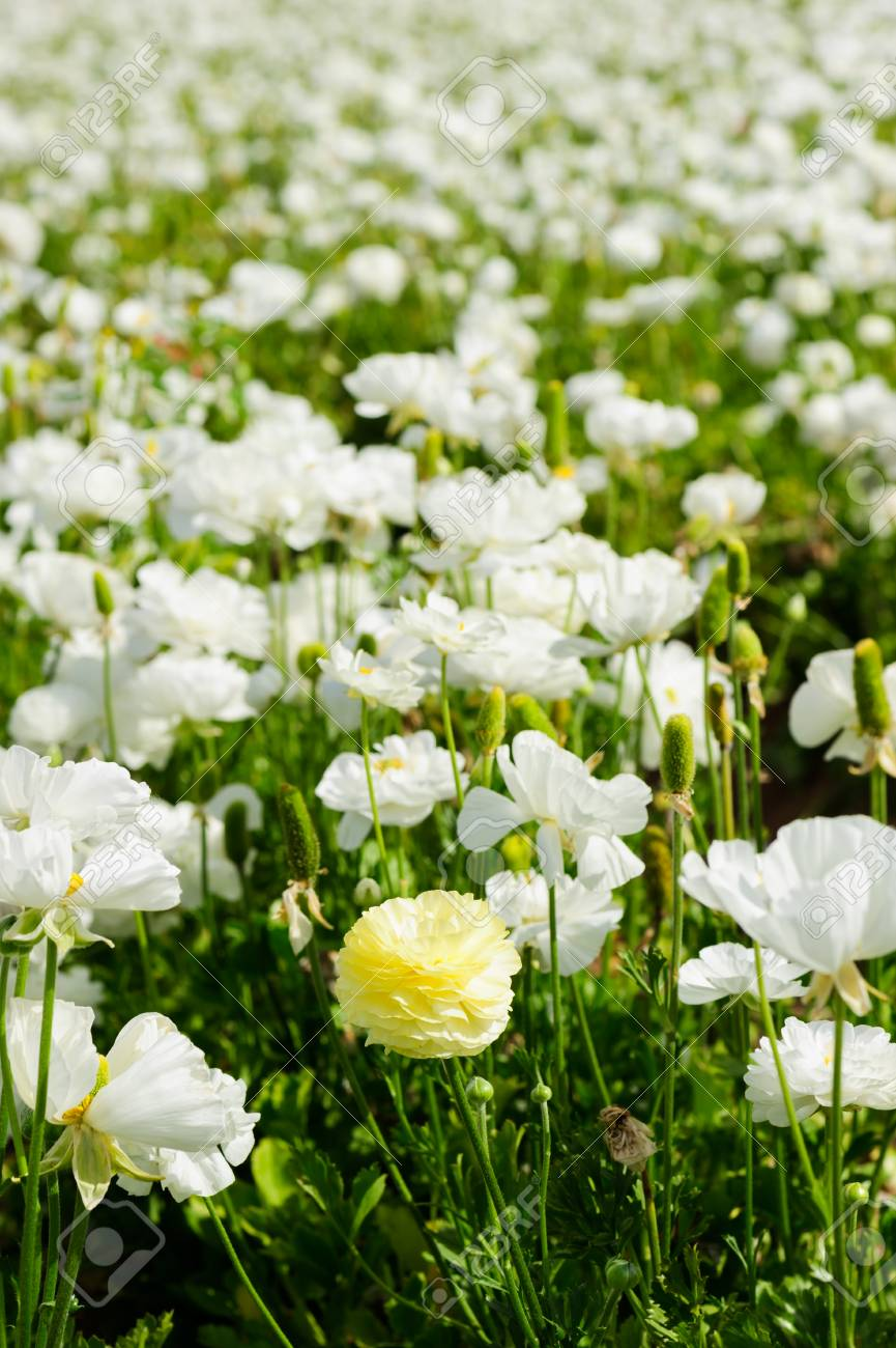 California Flower Fields White Flowers Farm Stock Photo Picture