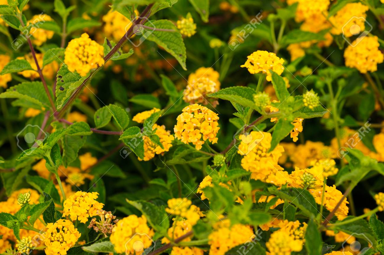 California Flower Fields Yellow Flowers Farm Stock Photo Picture