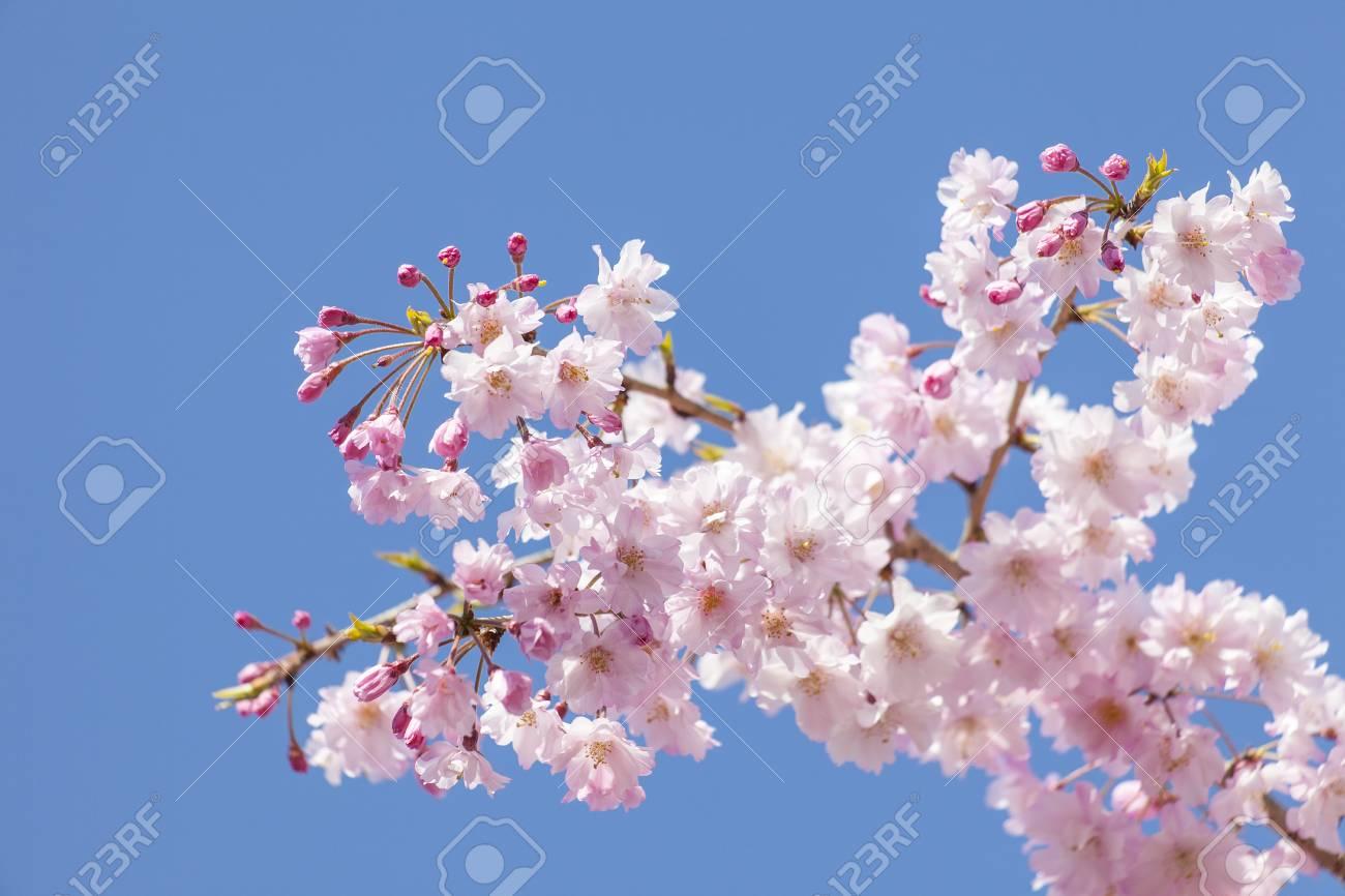 Cherry blossom - 101175180