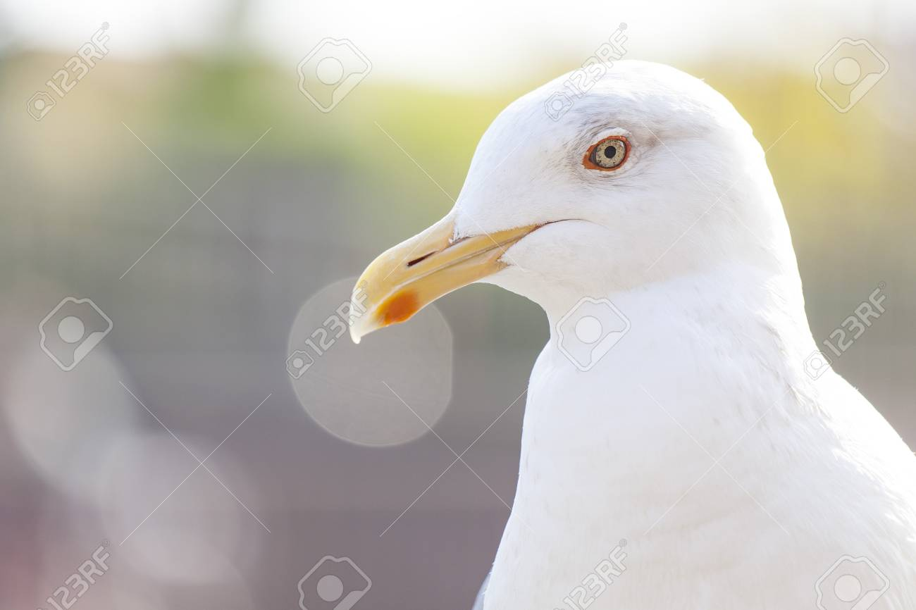 Seagull - 101116591