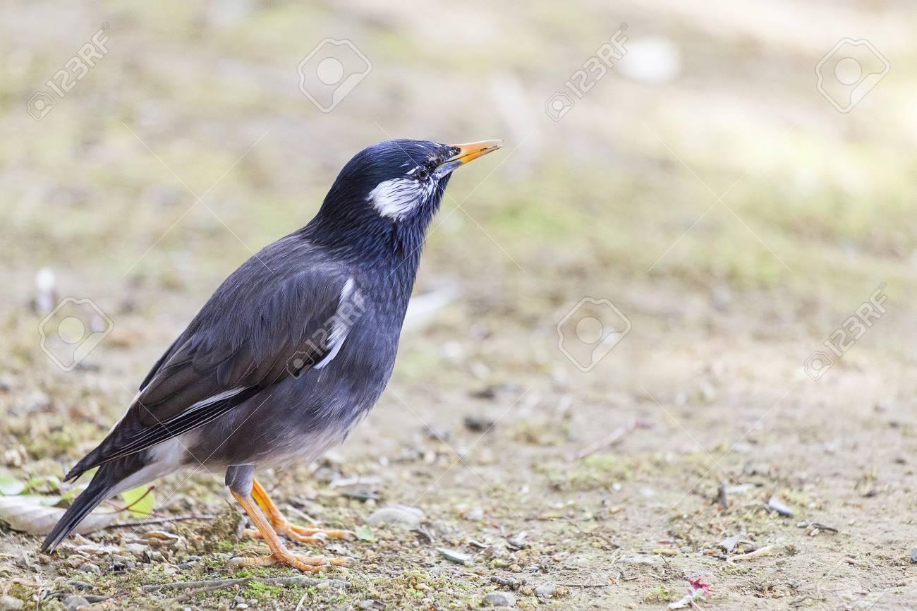 White-cheeked starling - 101500883