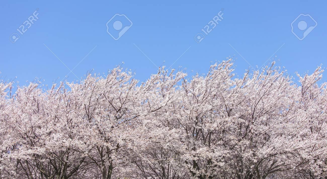 Cherry tree - 101521968