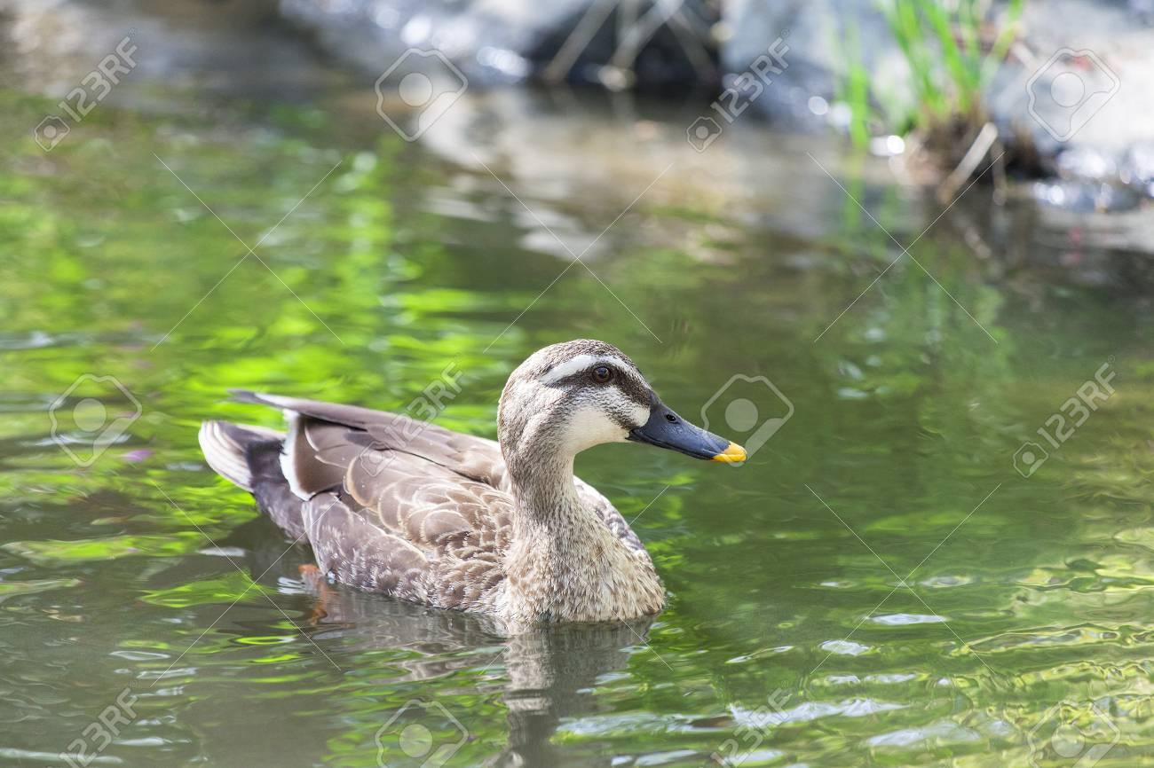 Duck - 101519574