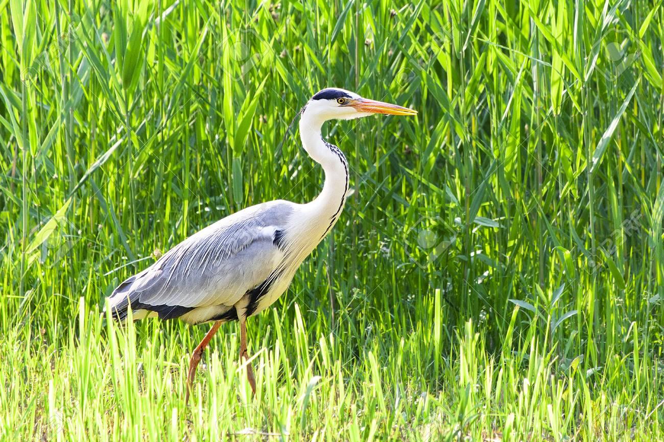 Grey heron in the farm - 105338553
