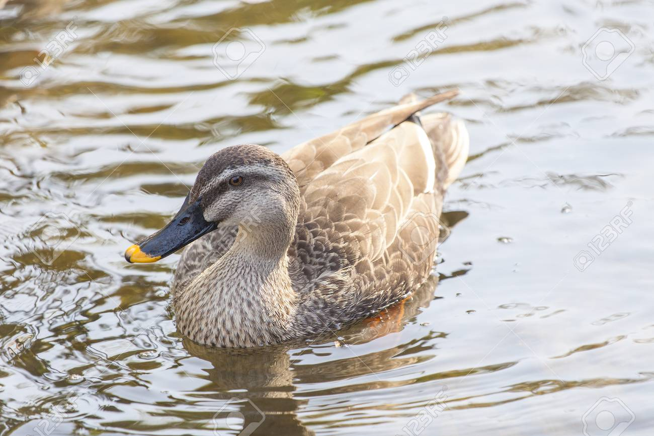 Duck on the lake - 105338557