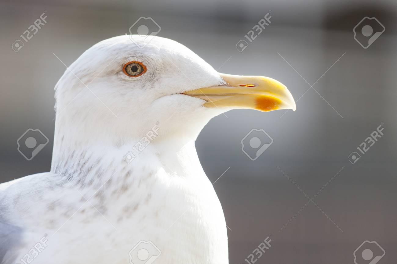 Seagull - 114759843