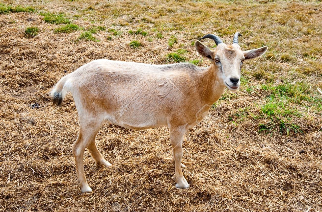 Goat on a farm Stock Photo - 17724636