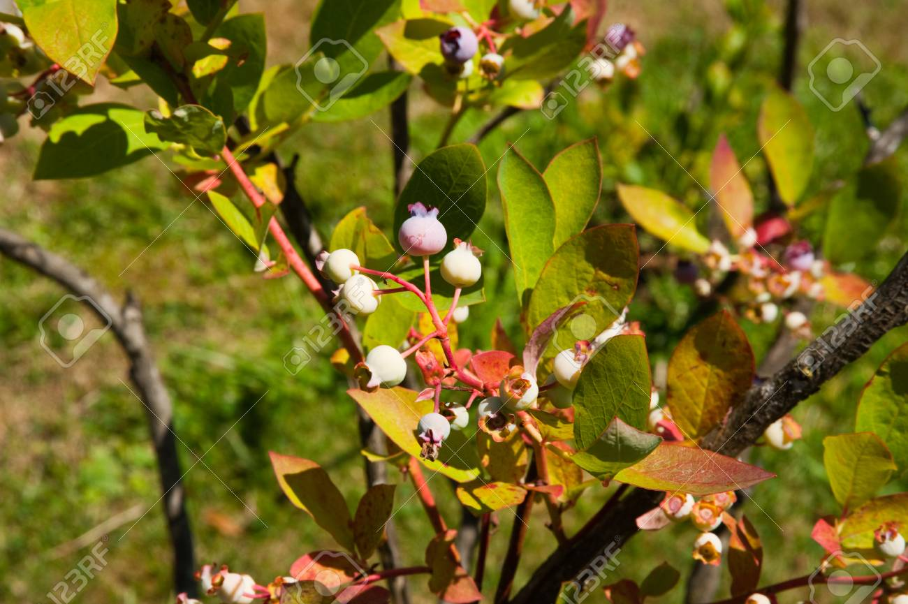 Blueberry plant - 71047926