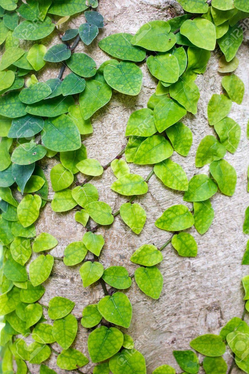 木の幹につる植物 ロイヤリティ...