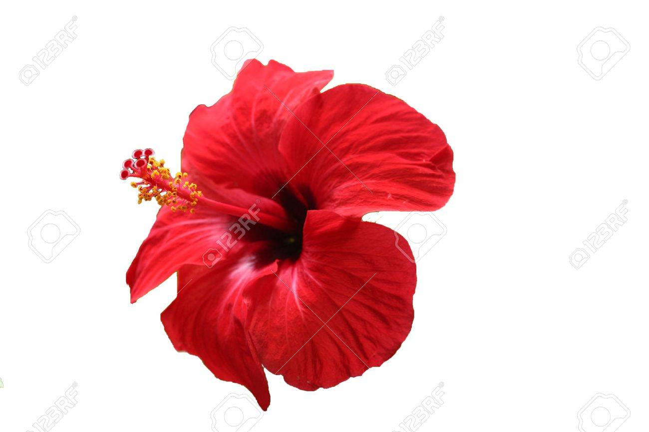 Deep Red Hibiscus Isolated In White Background Stock Photo Picture
