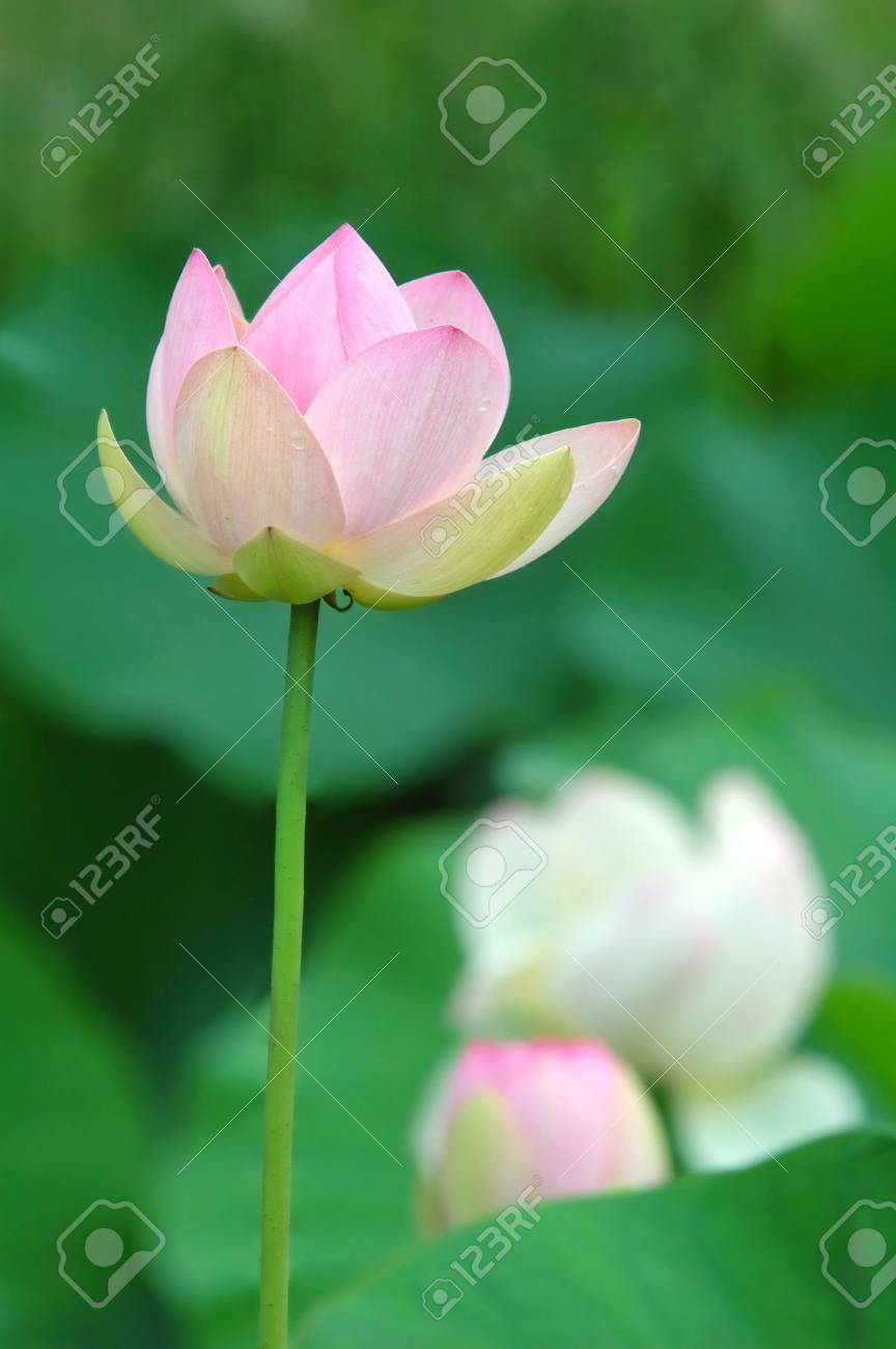 Nelumbo nucifera is known by a number of common names kamal nelumbo nucifera is known by a number of common names kamal renkon hasu mightylinksfo