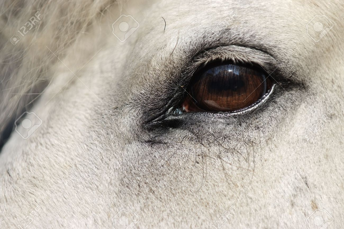 Detail Of White Horse Head With Long Eye Lashes Stock Photo Picture And Royalty Free Image Image 3143071