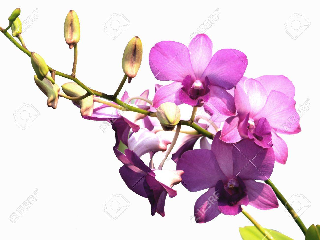 Pink purple dendrobium orchid flower on white background stock photo pink purple dendrobium orchid flower on white background stock photo 12354229 mightylinksfo