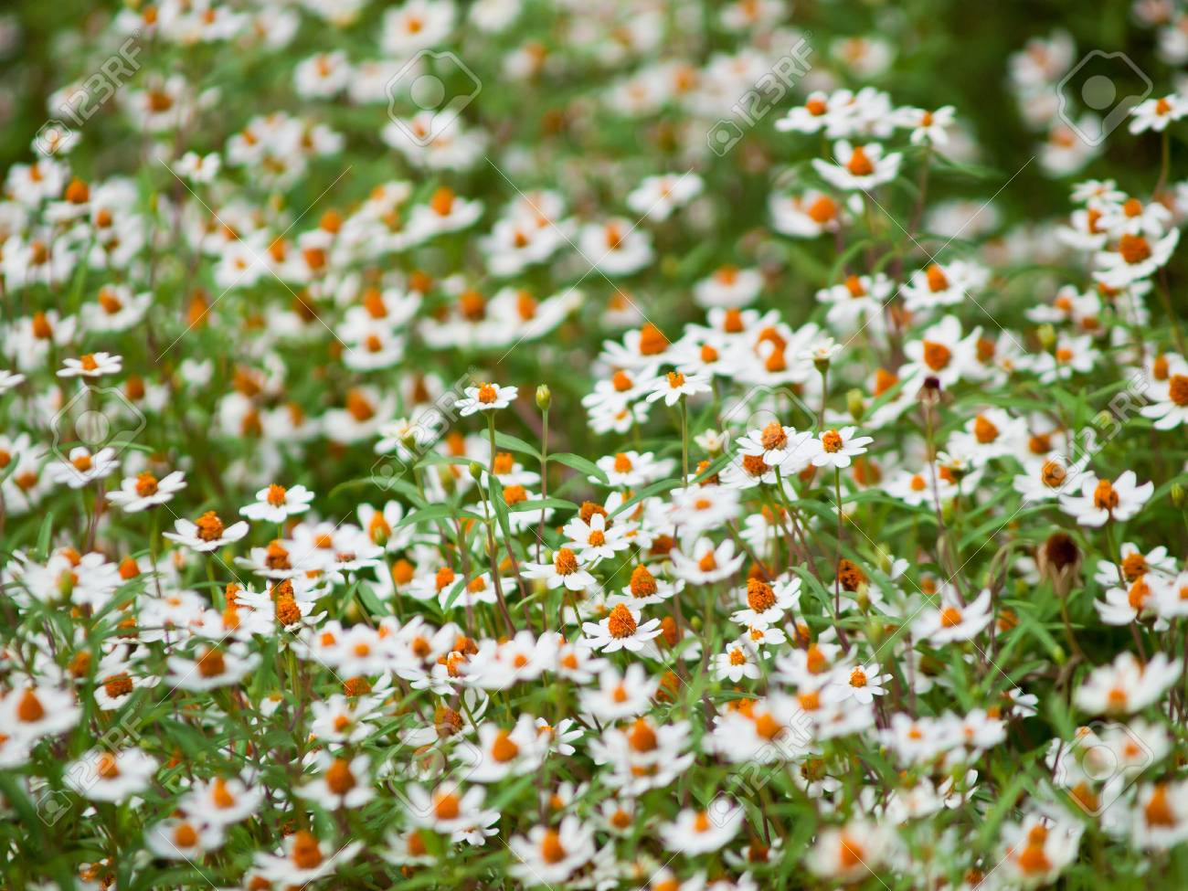 Field of daisy flowers stock photo picture and royalty free image field of daisy flowers stock photo 15361175 izmirmasajfo
