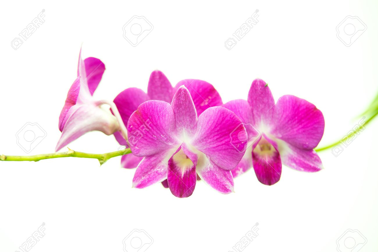 Beautiful bright pink purple dendrobium orchid flower branch stock beautiful bright pink purple dendrobium orchid flower branch isolated on white stock photo 16676616 mightylinksfo