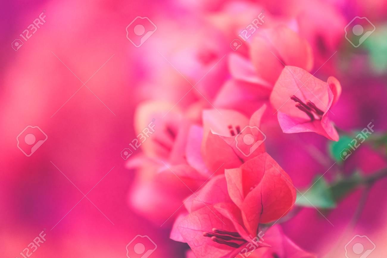 bougainvillier rose fleurit dans le jardin, flou (effet filtre