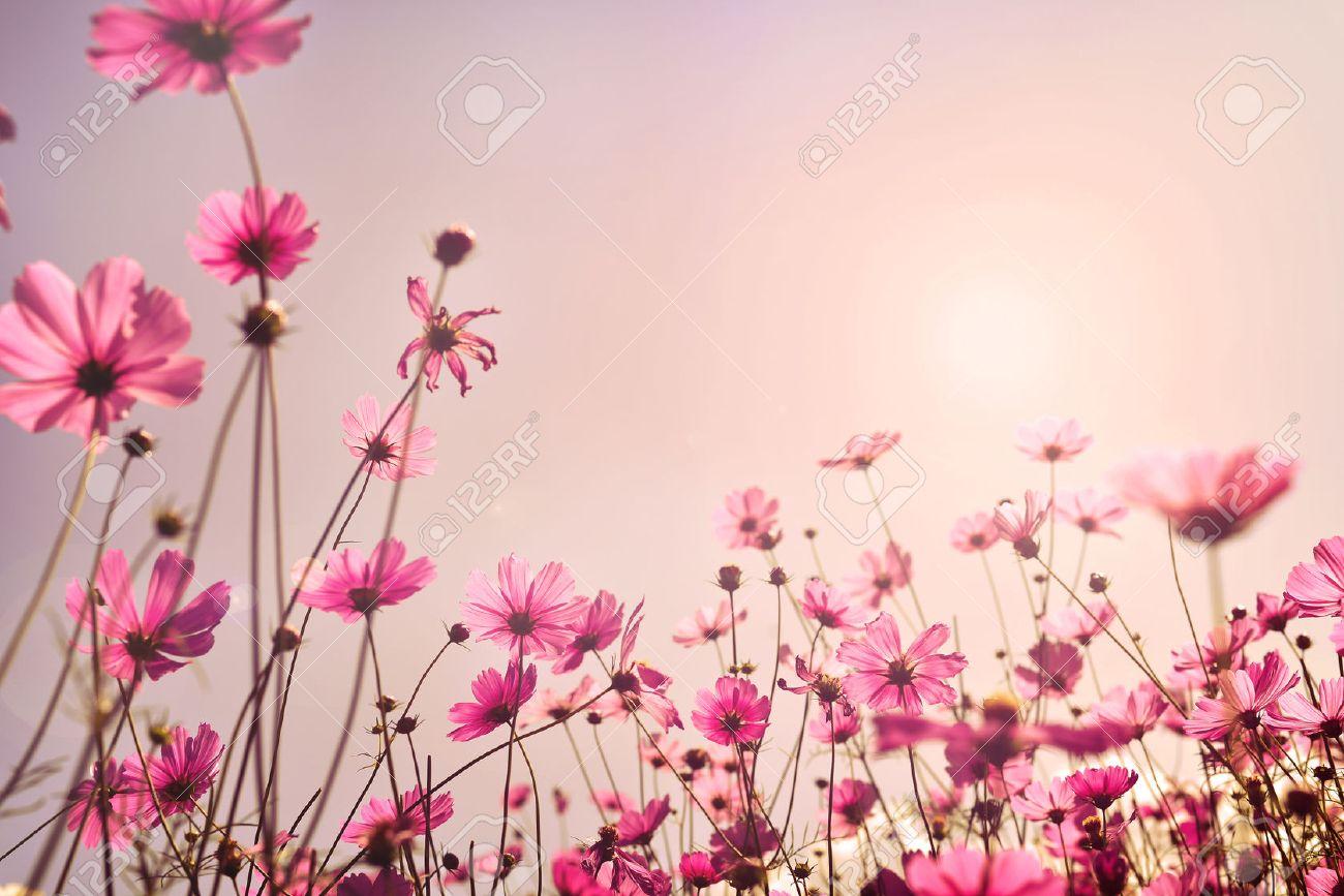 Tonalità Rosa Del Campo Di Fiori Del Cosmo Dolce E Amore Nel Concetto Di Sfondo Di San Valentino