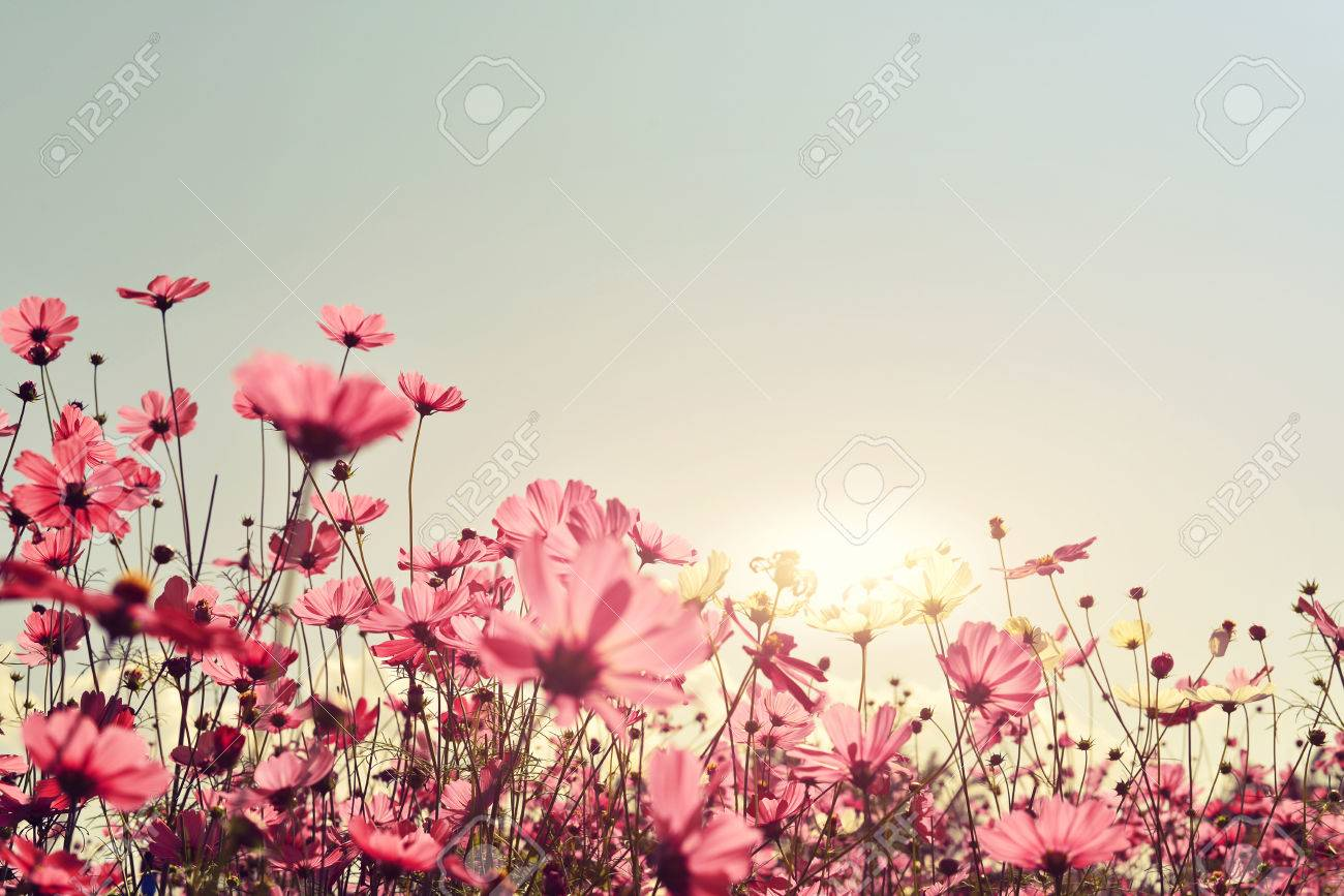 Pink Of Cosmos Flower Field Sweet And Love Concept Vintage