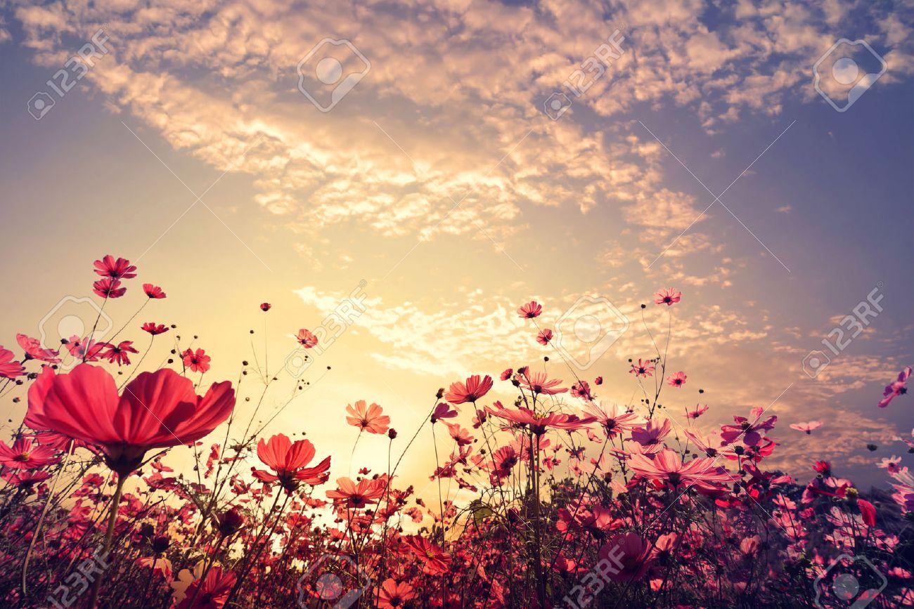 Paysage Nature Fond De La Belle Rose Et Rouge Champ Cosmos Fleur De