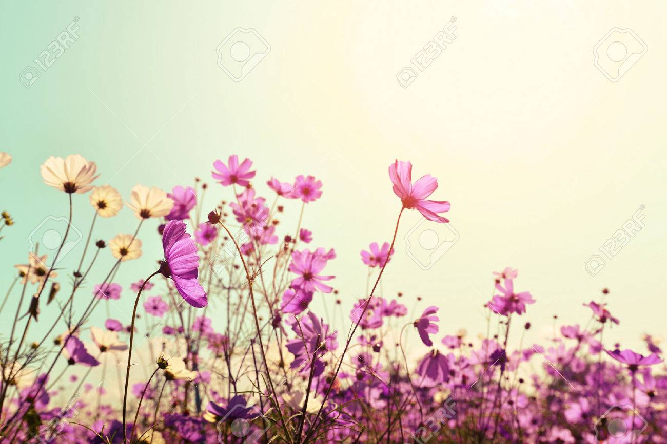 Pink of cosmos flower field sweet and love concept vintage pink of cosmos flower field sweet and love concept vintage nature background stock photo mightylinksfo