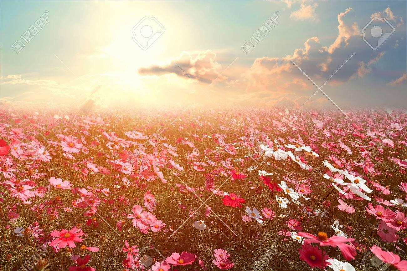Paesaggio Natura Sfondo Della Bella Rosa E Rosso Campo Fiore Cosmo Con Il Sole Tonalità Di Colore Depoca