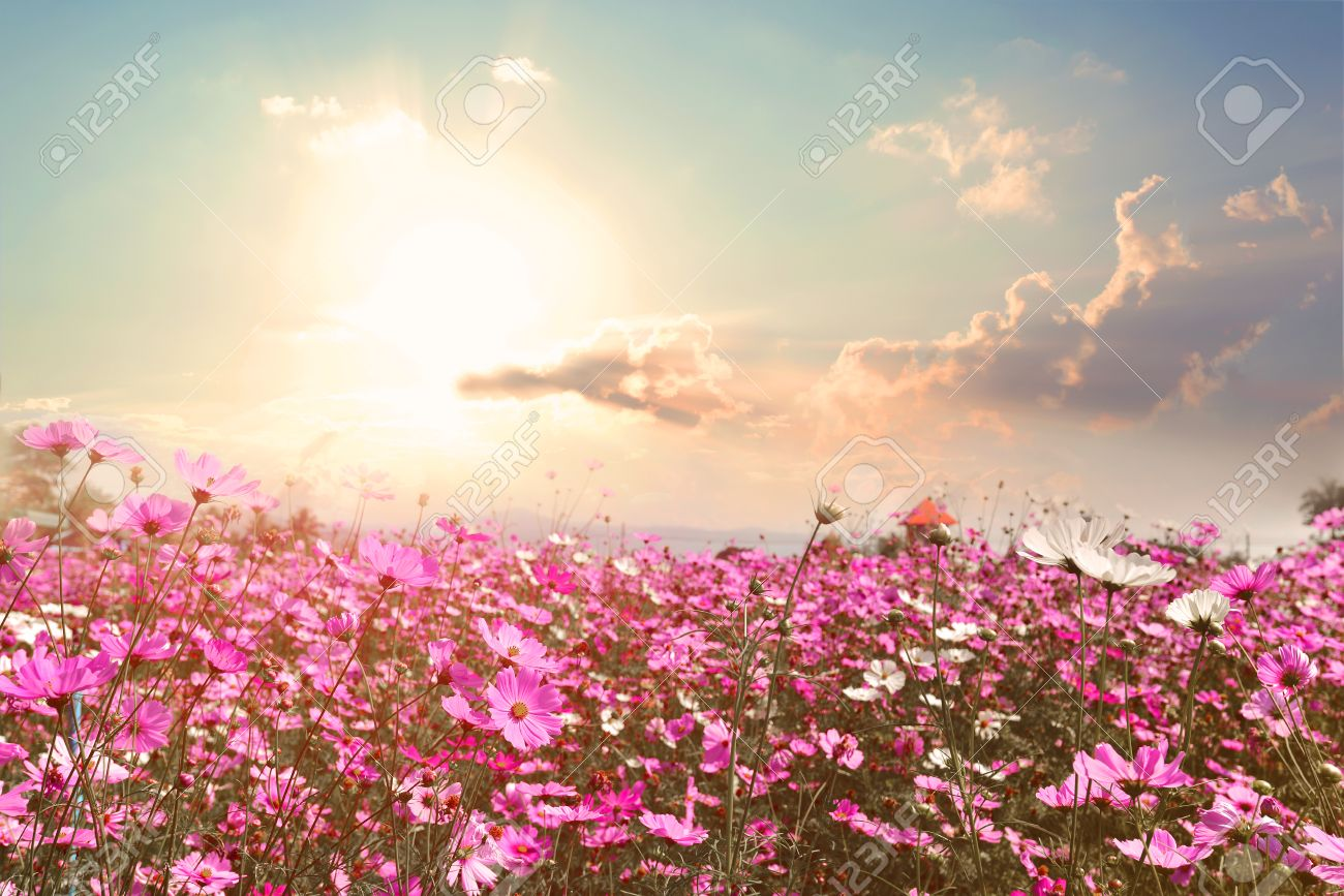 Landscape Nature Background Of Beautiful Pink And Red Cosmos Stock