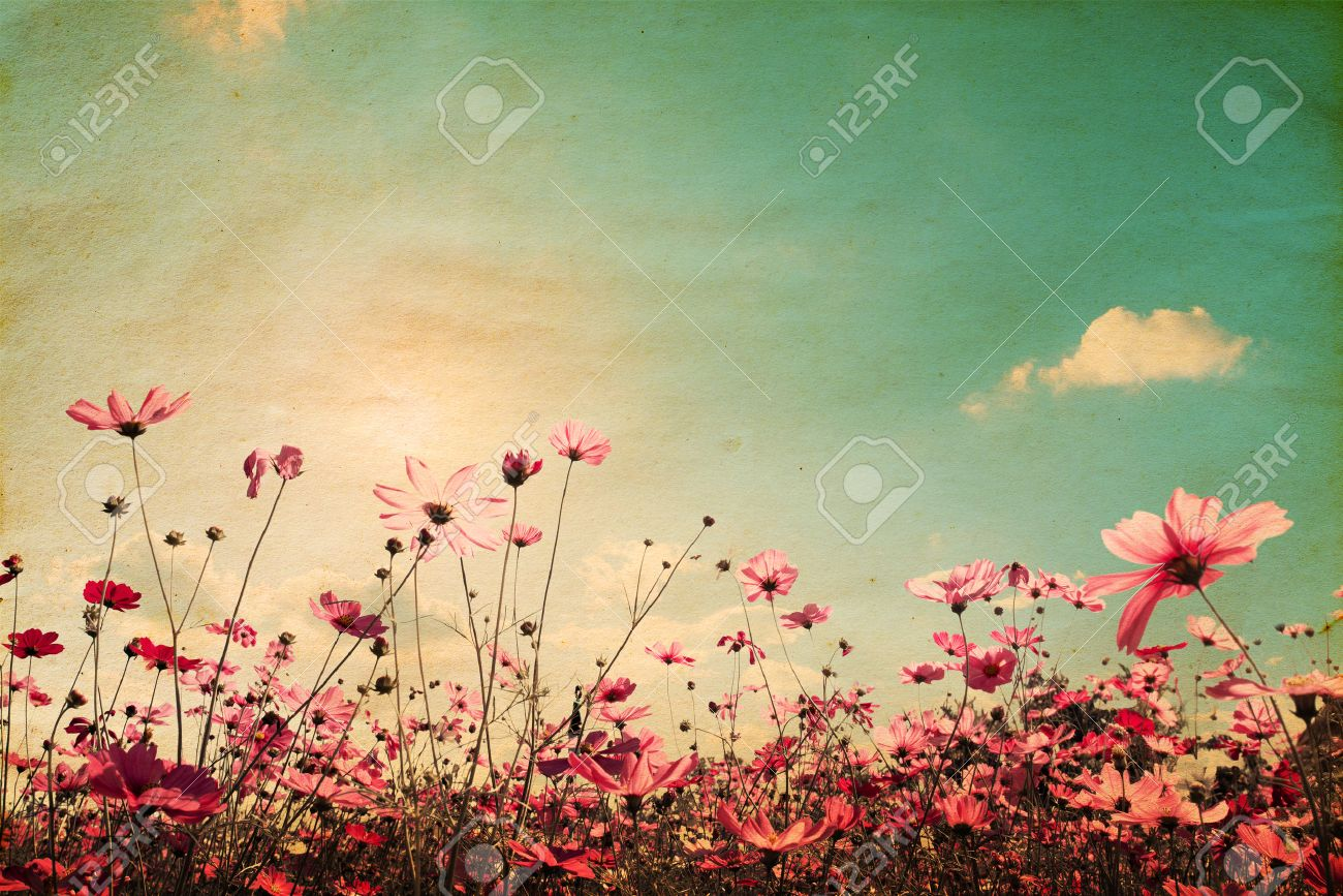 Vintage landscape nature background of beautiful cosmos flower field on sky with sunlight. retro color tone filter effect - 58397098