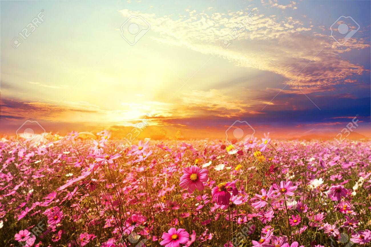 Contexte de la nature paysagère du magnifique champ de fleurs du cosmos  rose et rouge avec le coucher du soleil. Tonalité de couleur vintage
