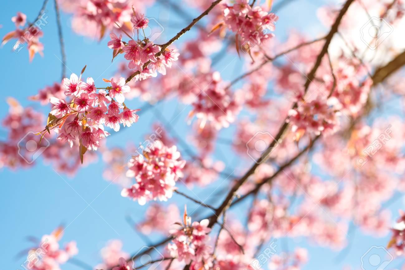 Beautiful Sakura Flower Cherry Blossom In Spring Sakura Tree