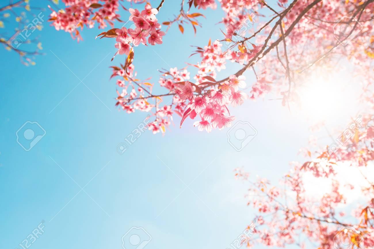 Beautiful sakura flower (cherry blossom) in spring. sakura tree flower on blue sky. - 119300797