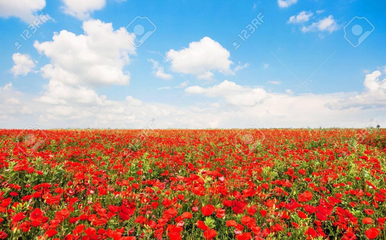 belle champ de fleurs rouges de pavot avec un ciel bleu et nuage