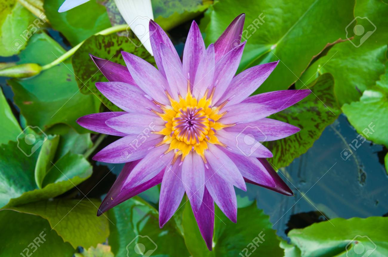 Lotus Flowers And Beautiful Colors Stock Photo Picture And Royalty