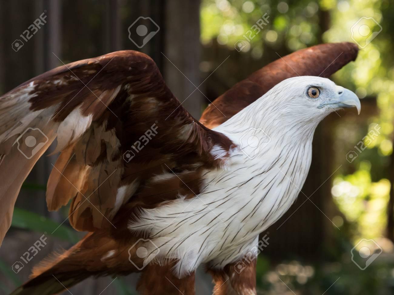 Aguila En La Espalda brahminy kite (Águila de mar de espalda roja) brahminy kite bird de  tailandia