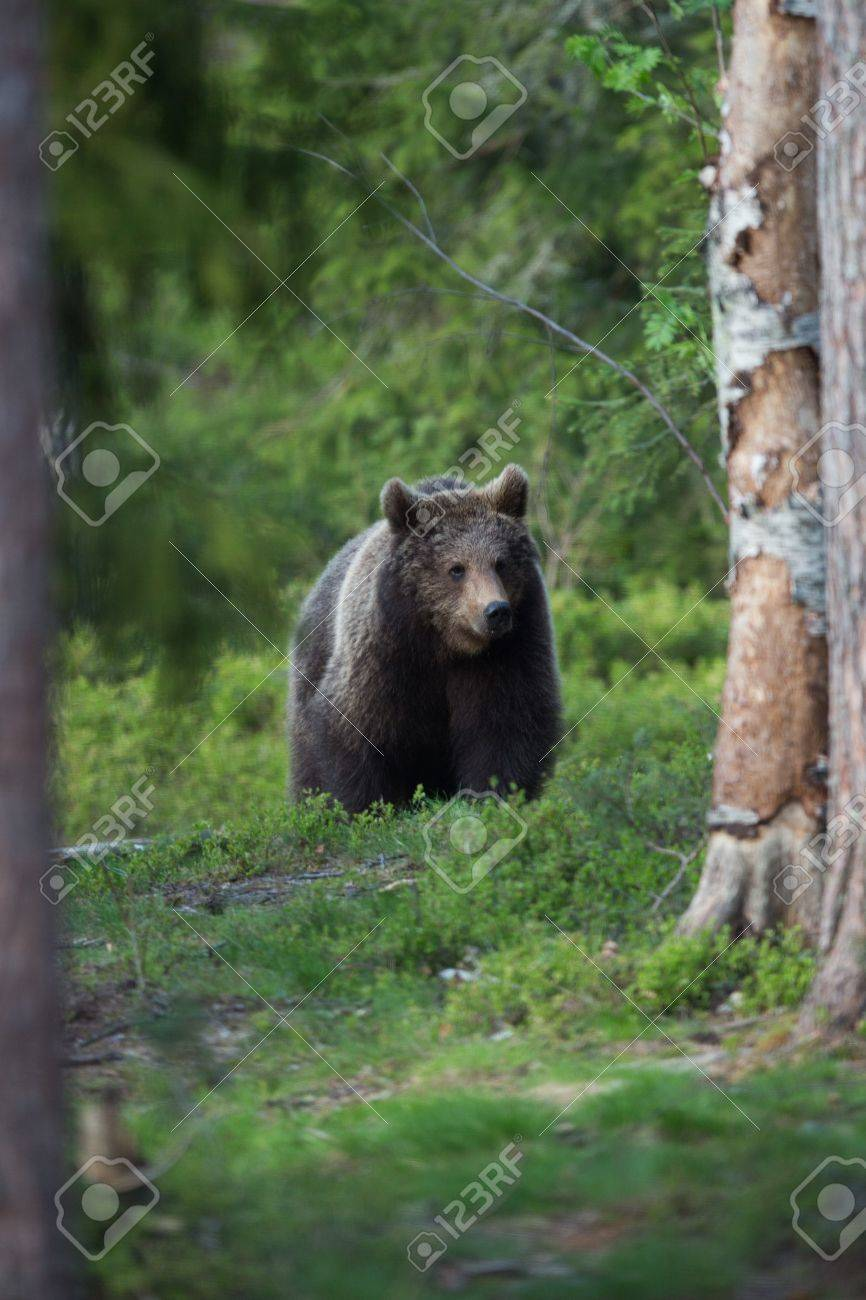 Brown bear in Tiaga forest Stock Photo - 14557806