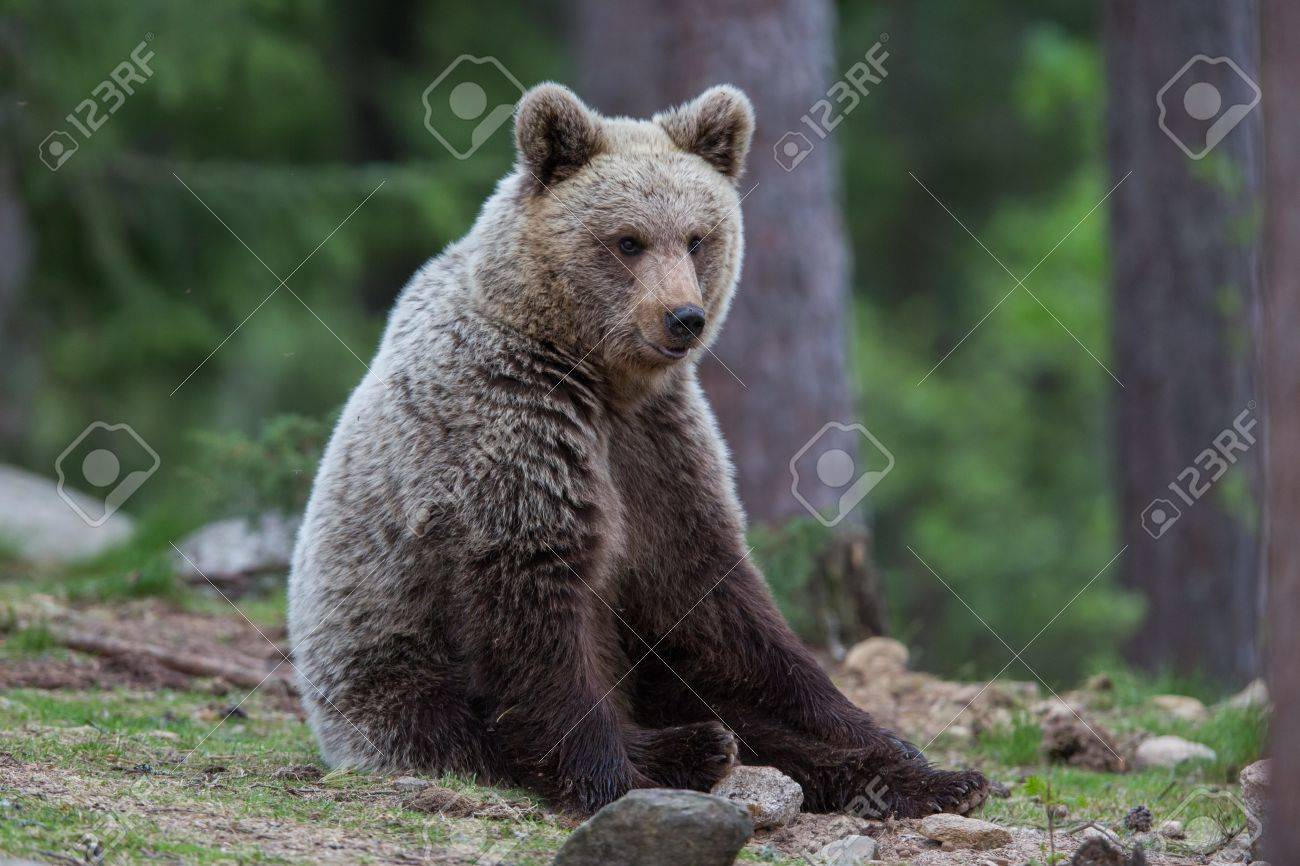 Brown bear in Tiaga forest Stock Photo - 14557817