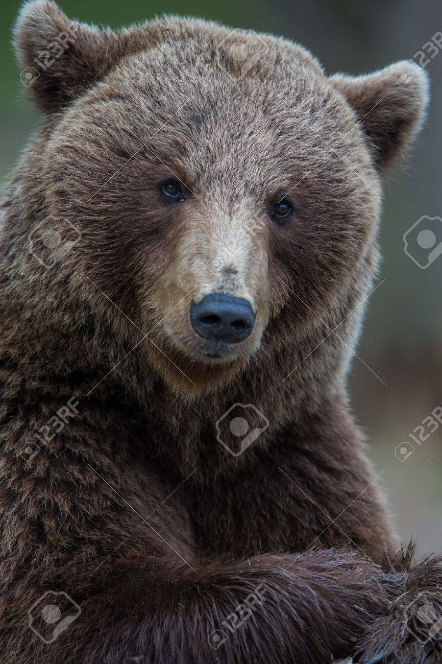 Brown bear in Tiaga forest Stock Photo - 14557840