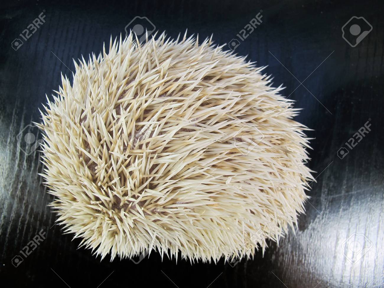 White African posing little hedgehog Stock Photo - 10880888