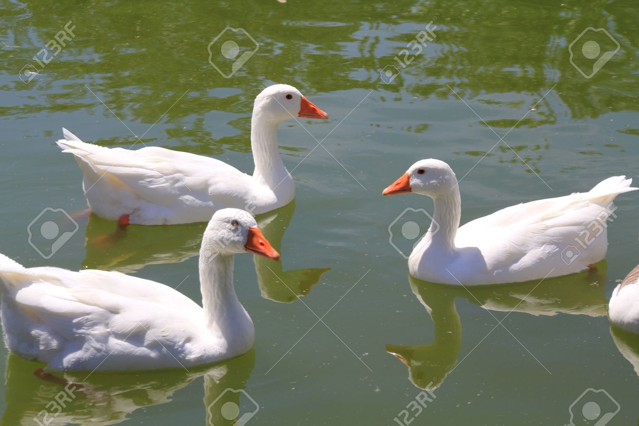 ducks in the pond stock photo picture and royalty free image image