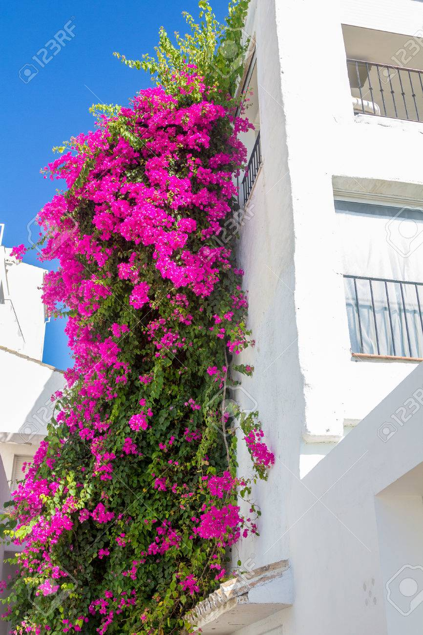 Beautiful climbing plant with pink flowers in a white house stock beautiful climbing plant with pink flowers in a white house stock photo 46664330 mightylinksfo