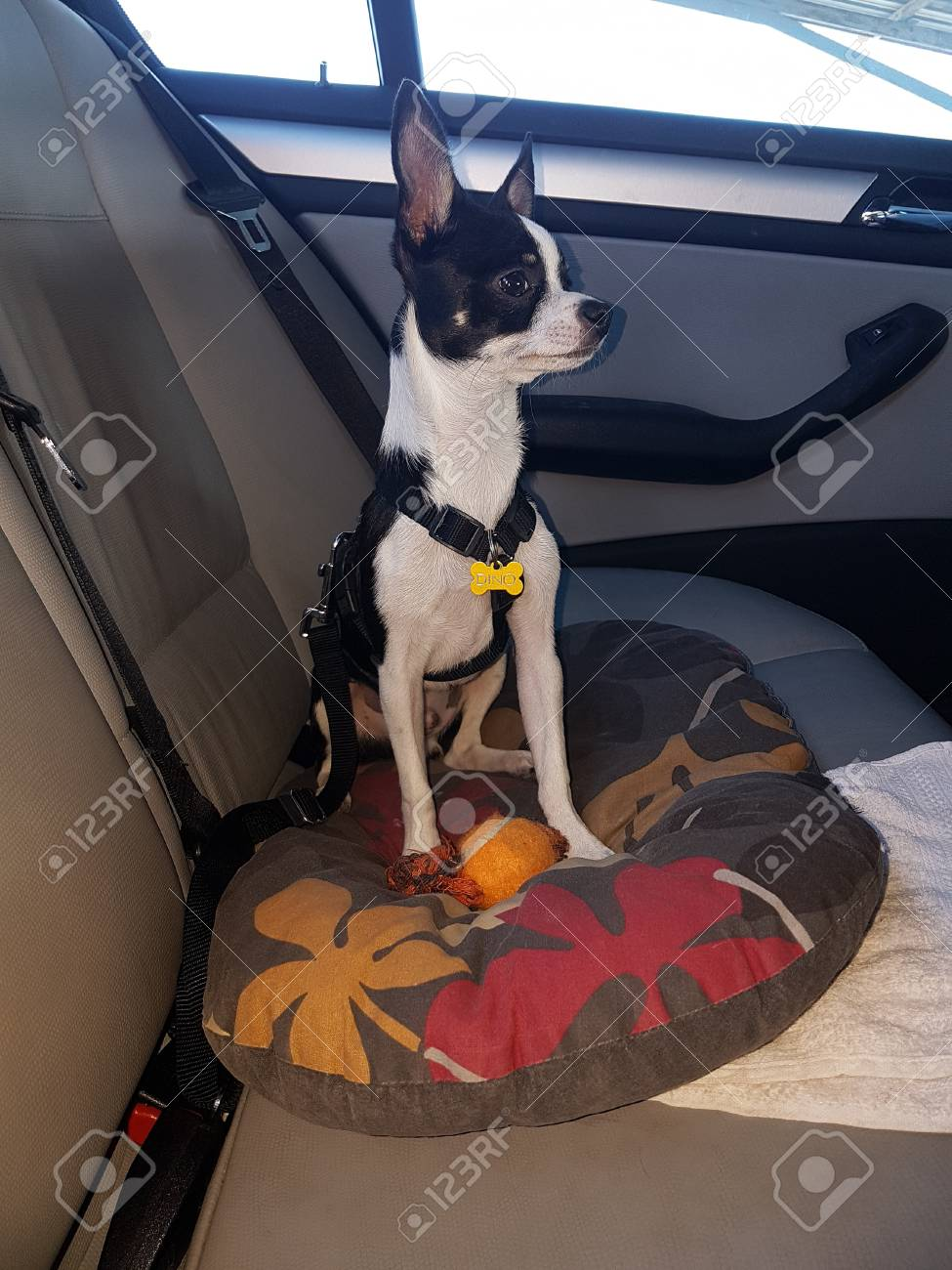 Black And White Chihuahua Traveling By Car Stock Photo