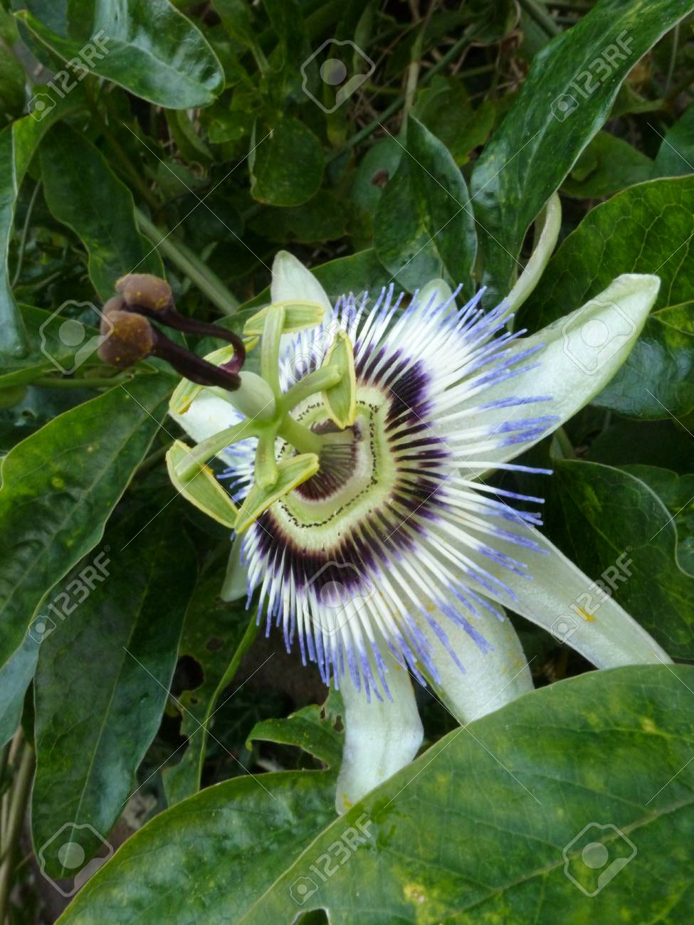 Blue Passion Flower Stock Photo - 15377427