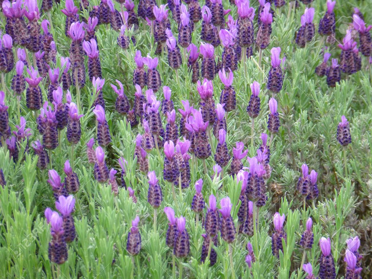 Lavender Flowers Stock Photo - 20479904