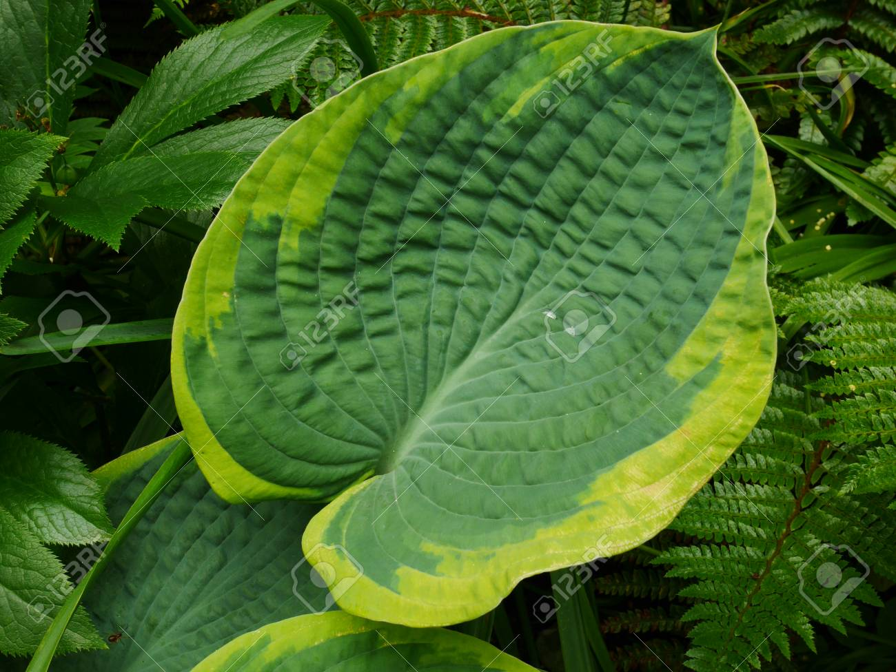 Large Variegated Green Hosta Leaf With Yellow Edges Stock Photo