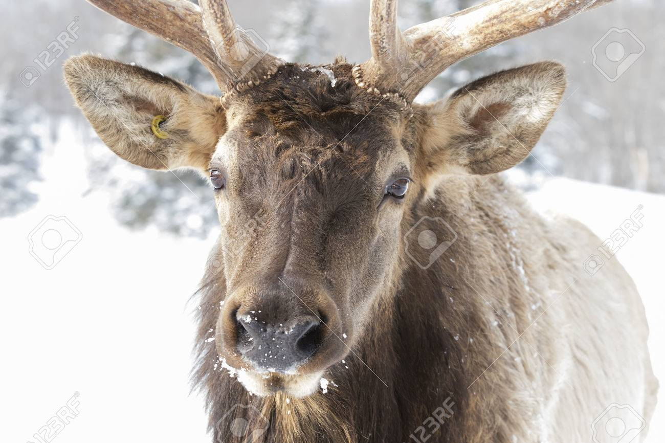 Elk closeup in the winter snow stock photo picture and royalty free elk closeup in the winter snow stock photo 75064616 publicscrutiny Image collections